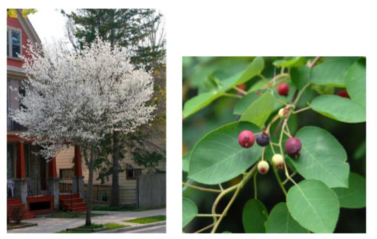 Amelanchier Canadensis – Canadian serviceberry