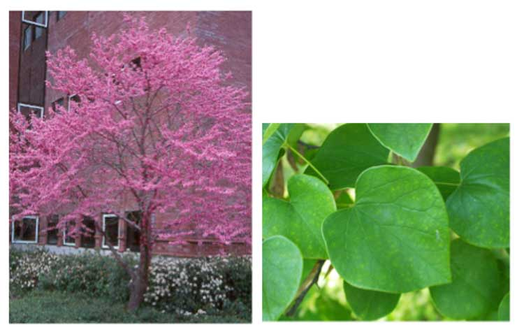 Cercis Canadensis – Eastern redbud