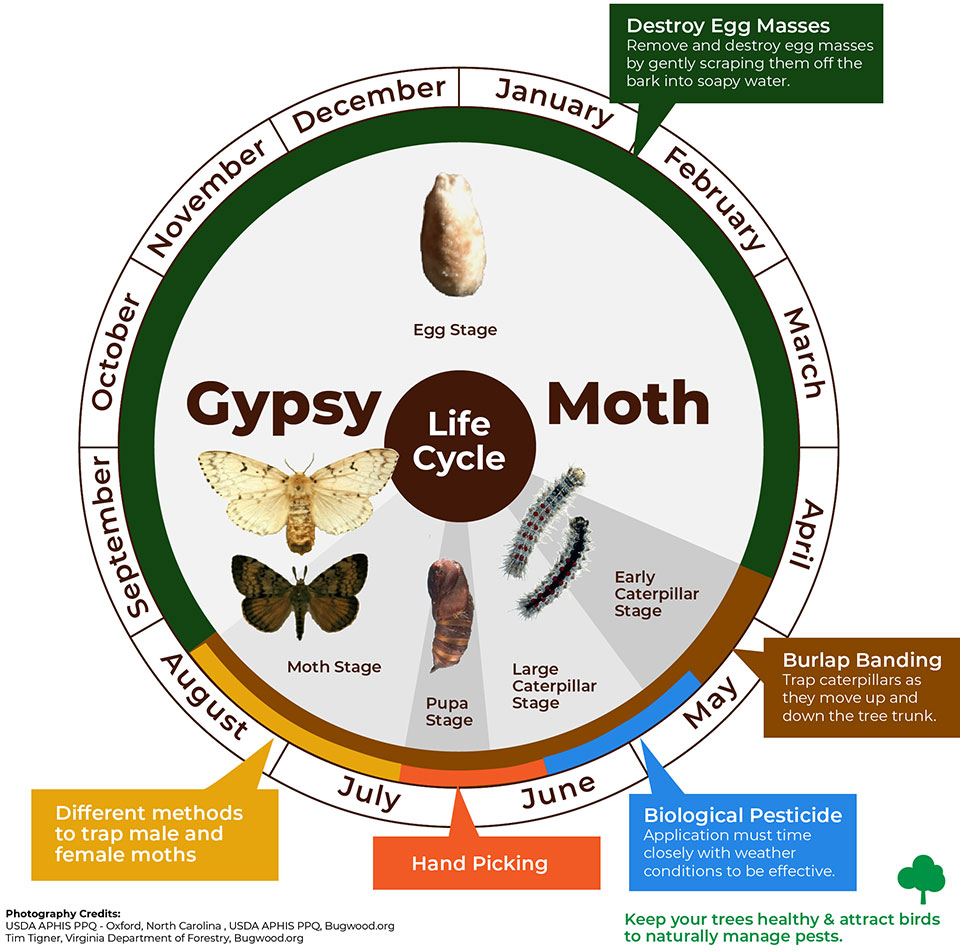 Gypsy Moth Lifecycle